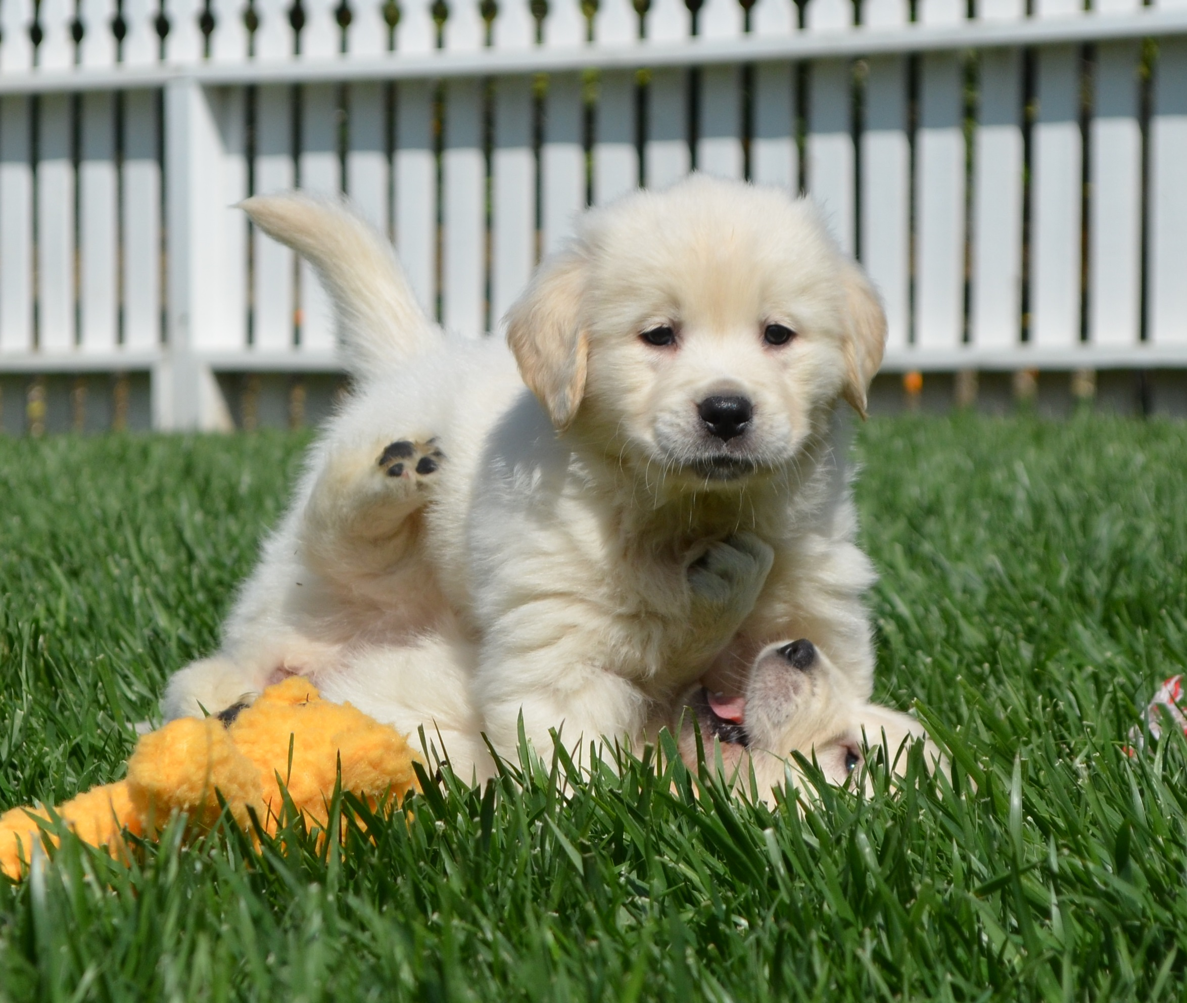 White Golden Retrievers Golden Meadows Retrievers